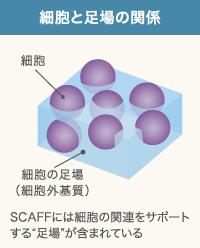 スキャフォールドがあることで関連する細胞
